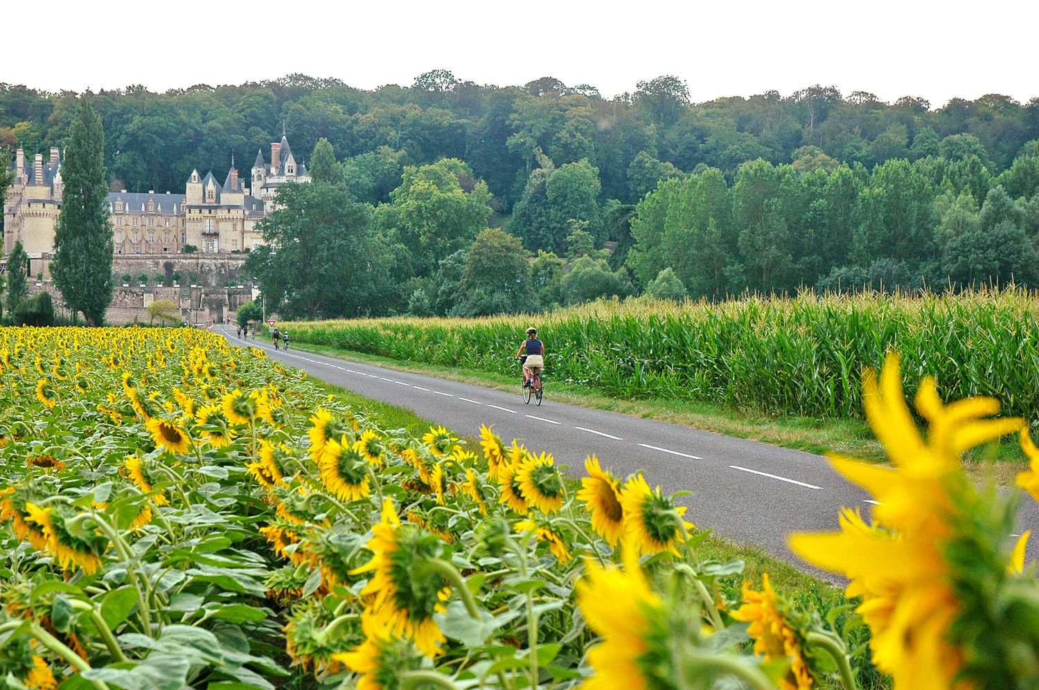 cycling through sunflowers towards a chateau